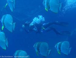 BD-061124-Gubal-Strait--Homo-sapiens.-Linnaeus.-1758-[Diver],-Platax-orbicularis-(Forsskål.-1775)-[Orbicular-batfish].jpg